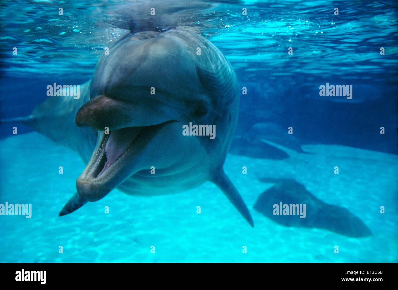 grand dauphin Grosser Tuemmle Bottlenose Dolphin Tursiops truncatus underwater animals Cetacea Dauphin à gros - Stock Image