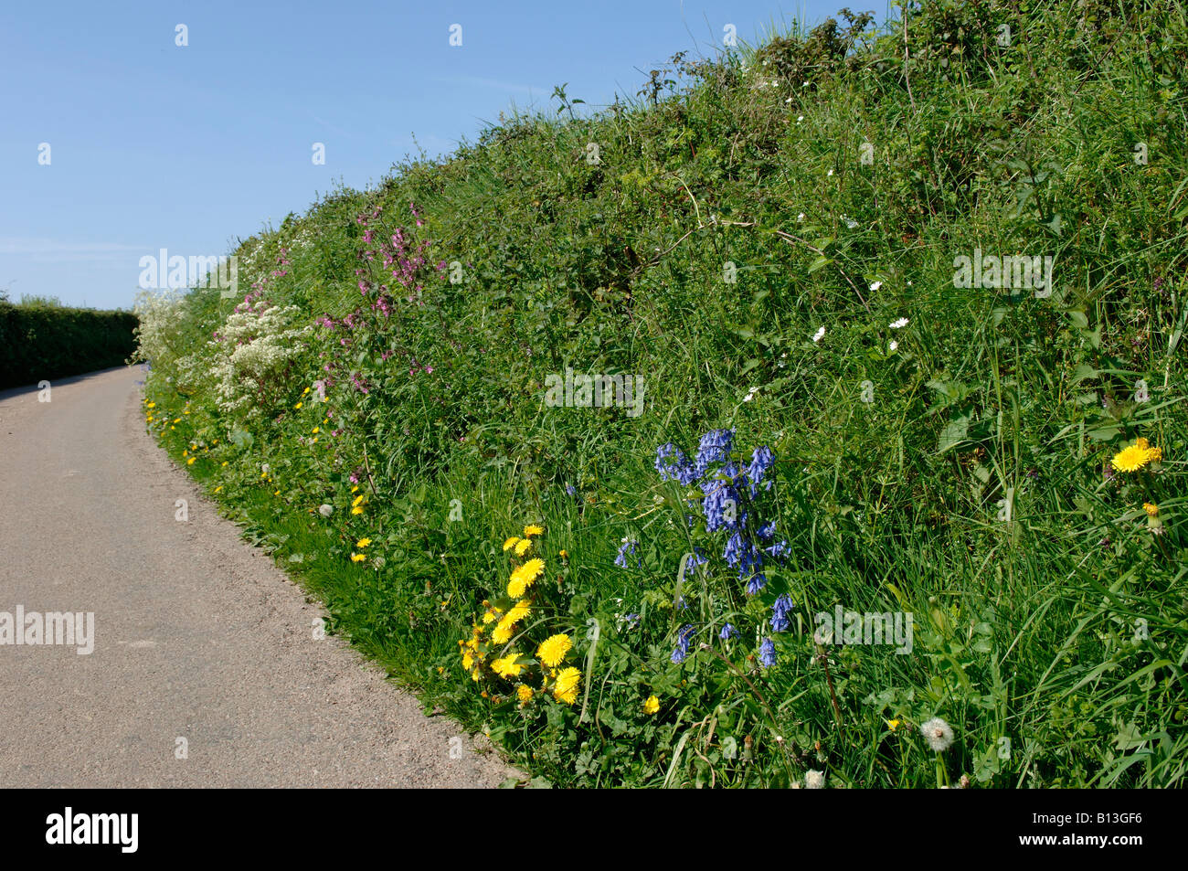 Devon bank on a country road in spring with bluebells campions other devon bank on a country road in spring with bluebells campions other flowers mightylinksfo Choice Image