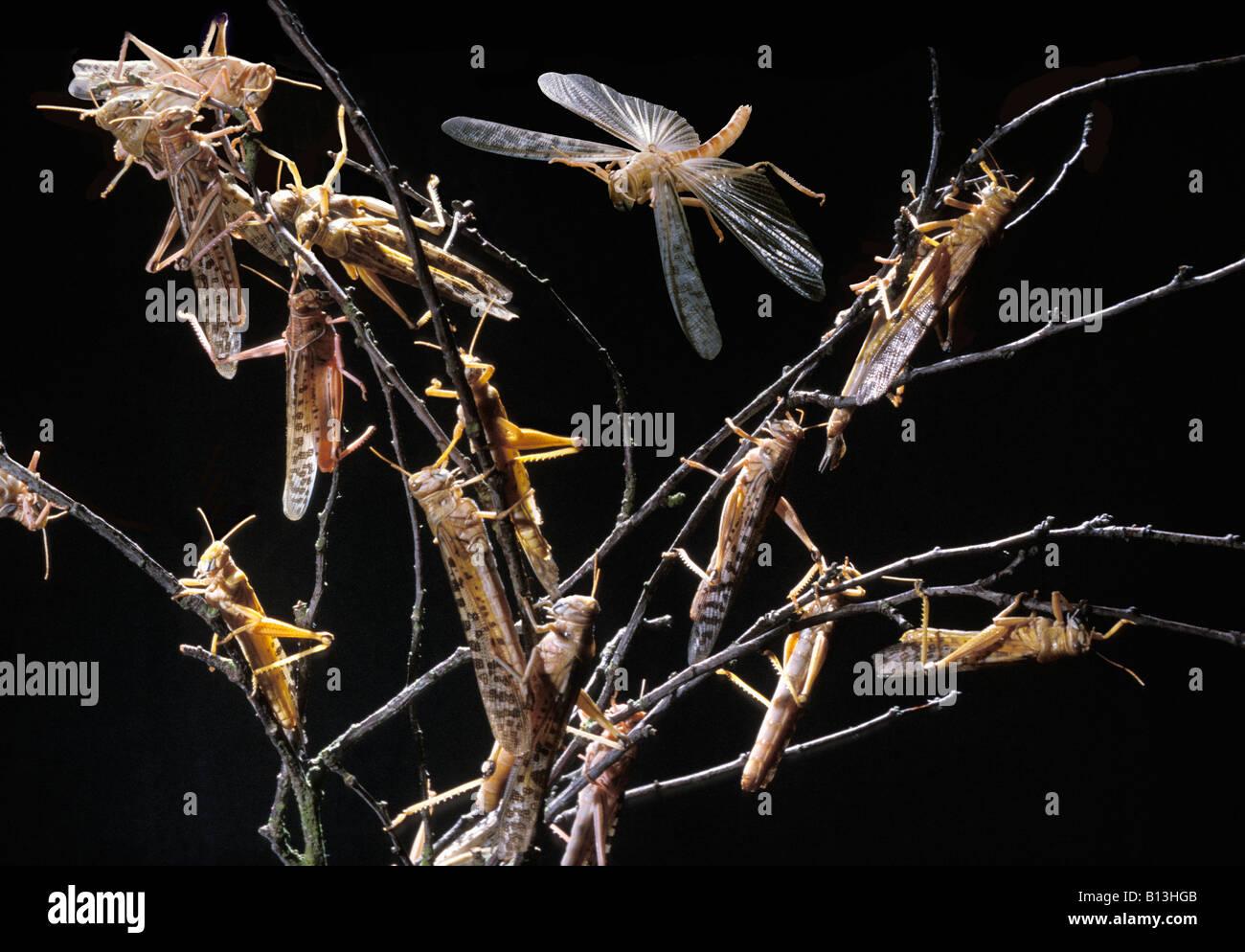 criquet migrateur Wanderheuschrecke Migratory Locust Locusta migratoria feeding swarm animals Arthropoda arthropods - Stock Image