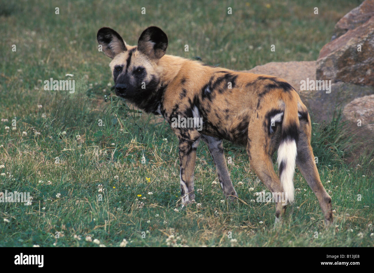 lycaon Afrikanischer Wildhund Hyaenenhund African Hunting Dog Lycaon pictus African Wild Dog side adult Africa animal - Stock Image