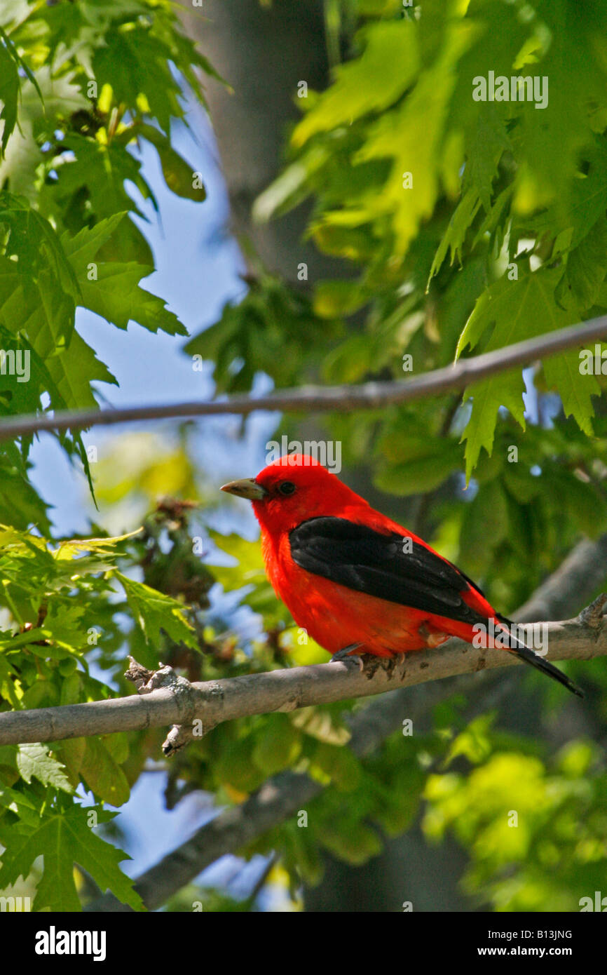 Scarlet Tanager - Stock Image