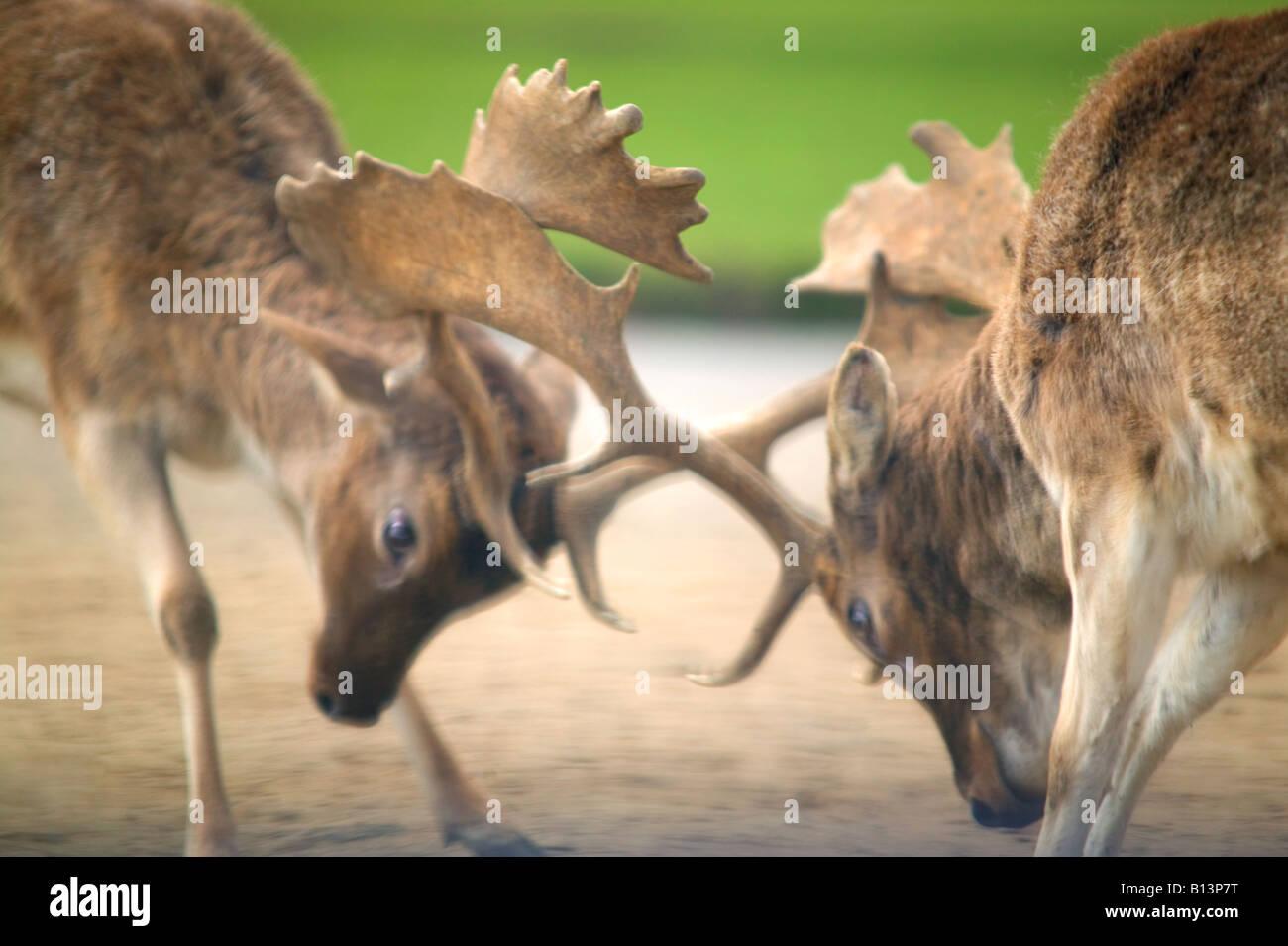 Two fallow deer dama dama during a rut - Stock Image
