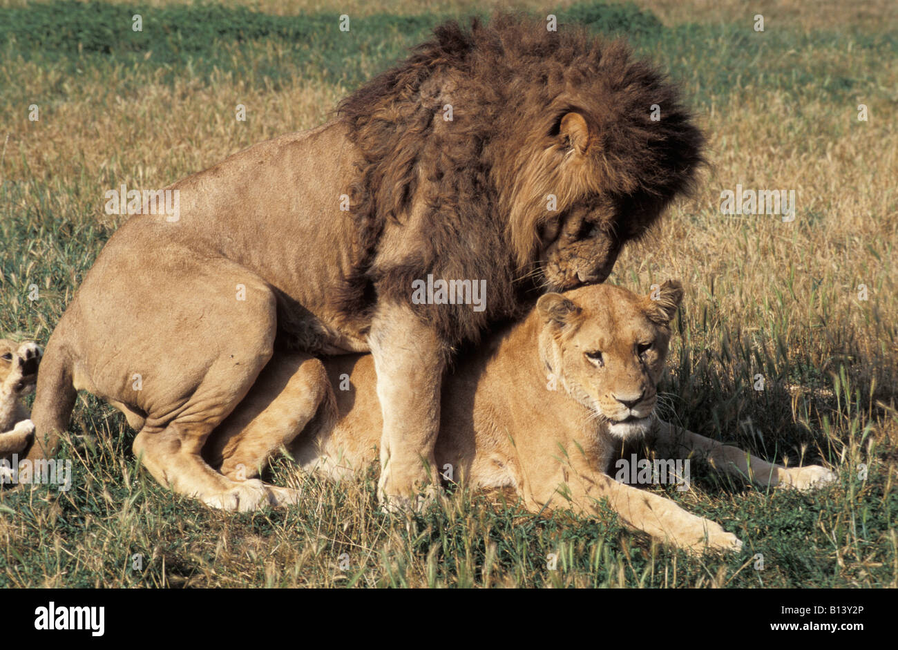African Lions Pair Mating South Africa Panthera Leo Adult Africa Stock Photo 17912126 - Alamy-2430