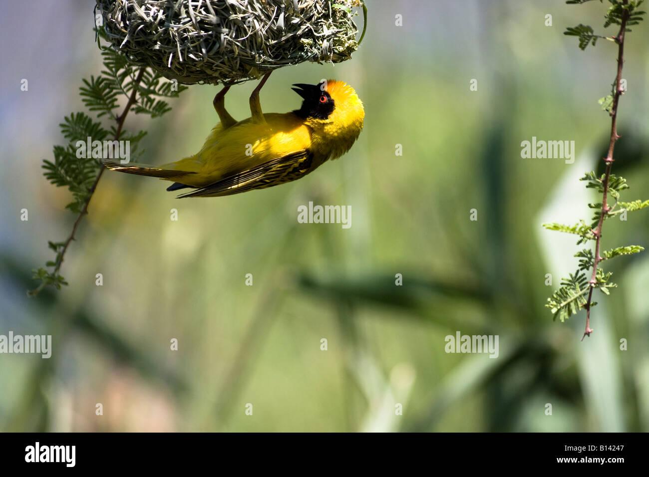 The Masked Weaver Bird Building Nest Ploceus Velatus South