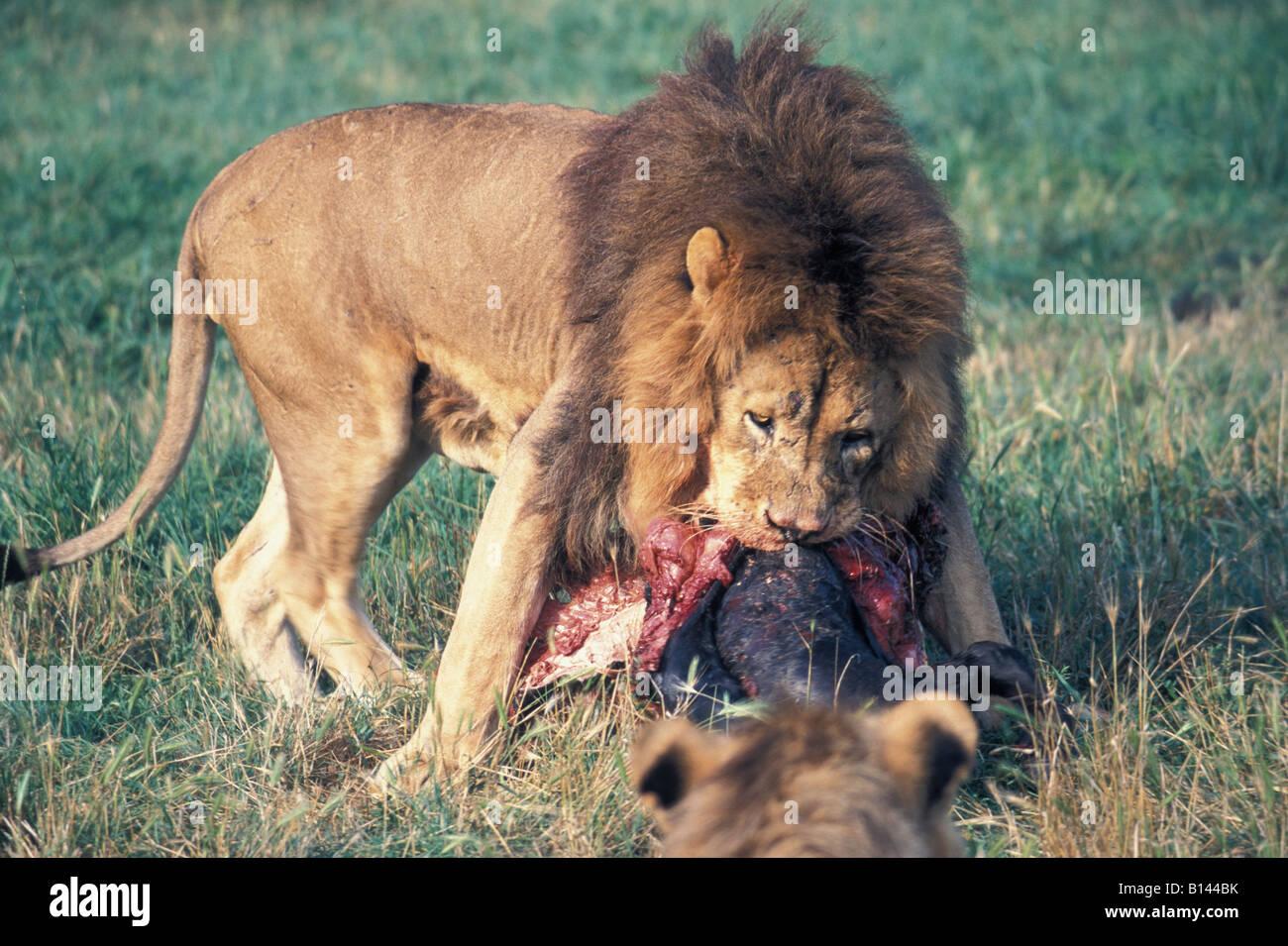 Lions eat a loot animal panthera leo animals carnivore hunt settles hunts lion nature wholeearth wildlife - Stock Image