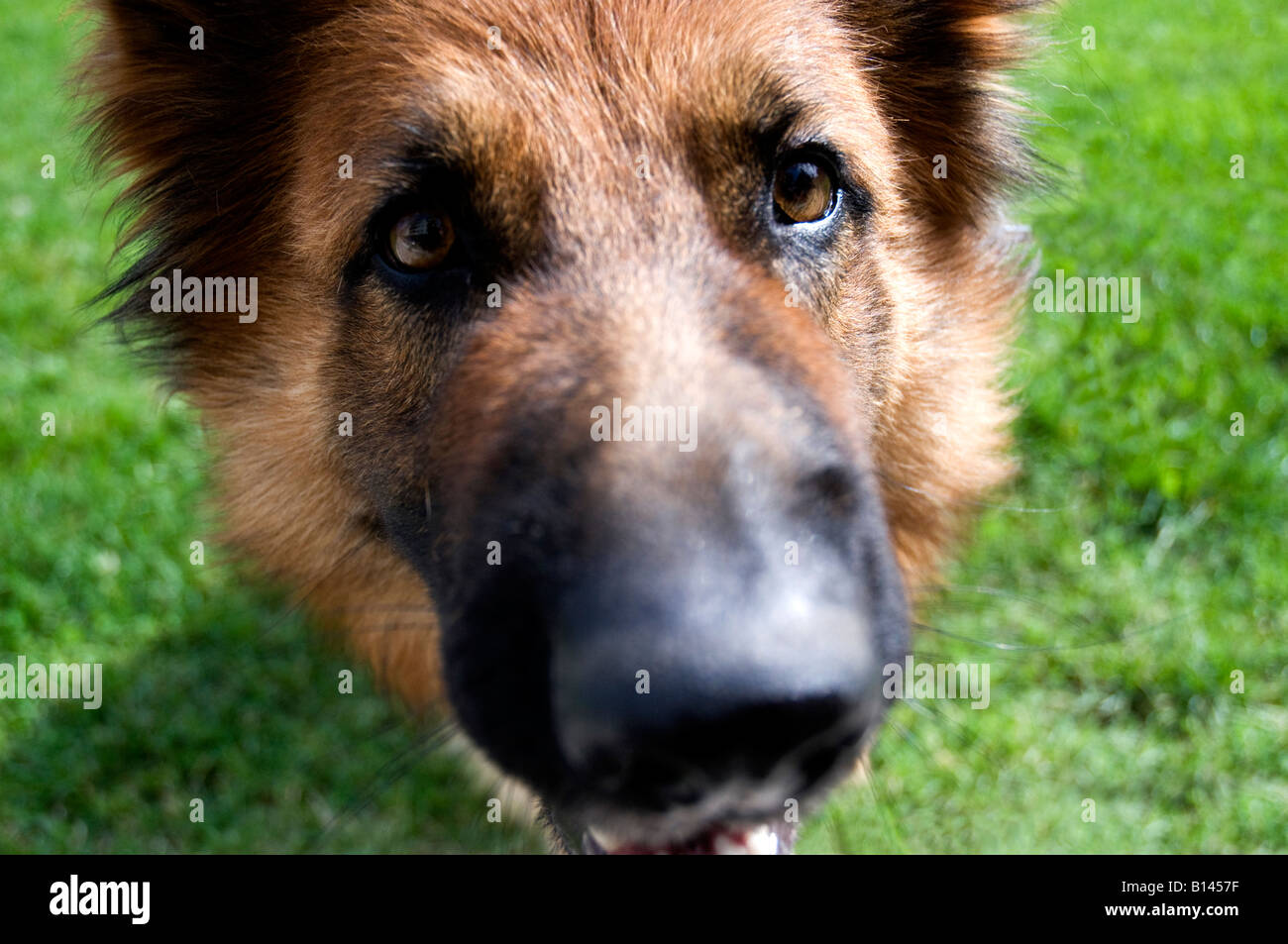 Close up portrait of a German Shepherd dog Stock Photo