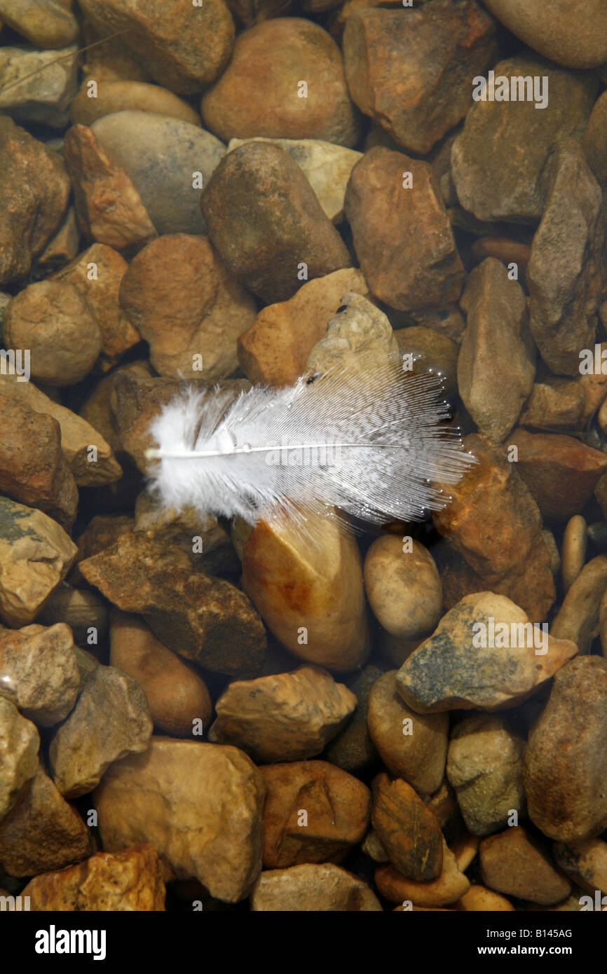 one white feather floating on water surface - Stock Image