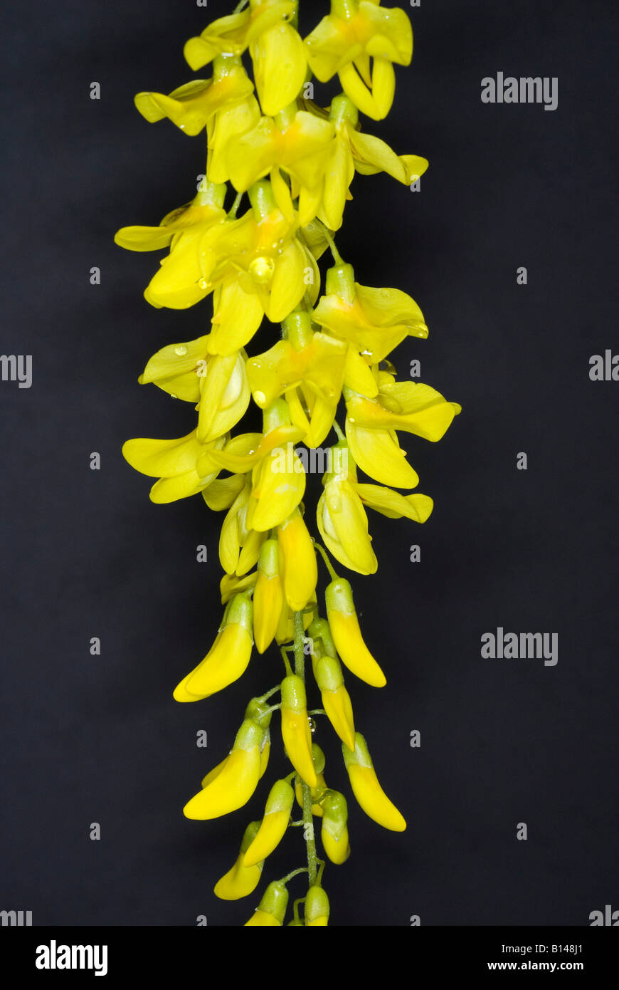 Yellow flowers of laburnum also called golden chain stock photo yellow flowers of laburnum also called golden chain mightylinksfo