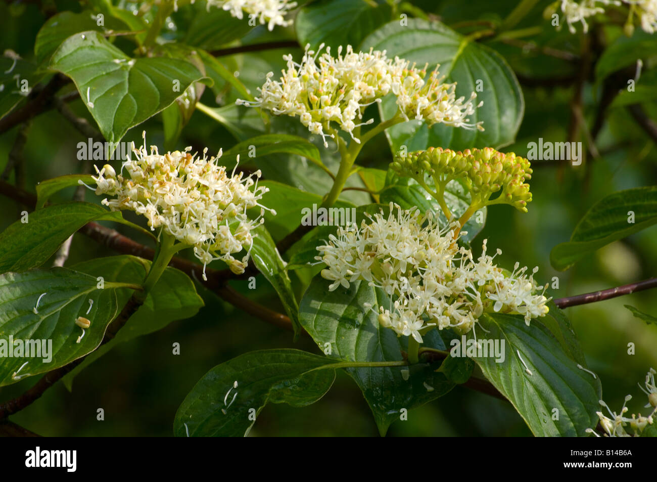 Red-osier Dogwood in full flower in Vermont spring - Stock Image