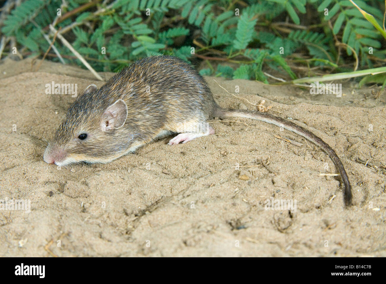 Mexican Spiny Pocket Mouse Liomys irroratus Stock Photo