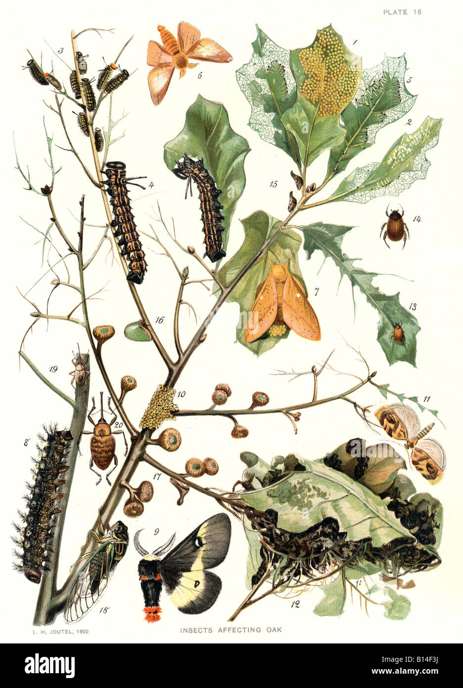 antique illustration showing insects affecting oak - Stock Image