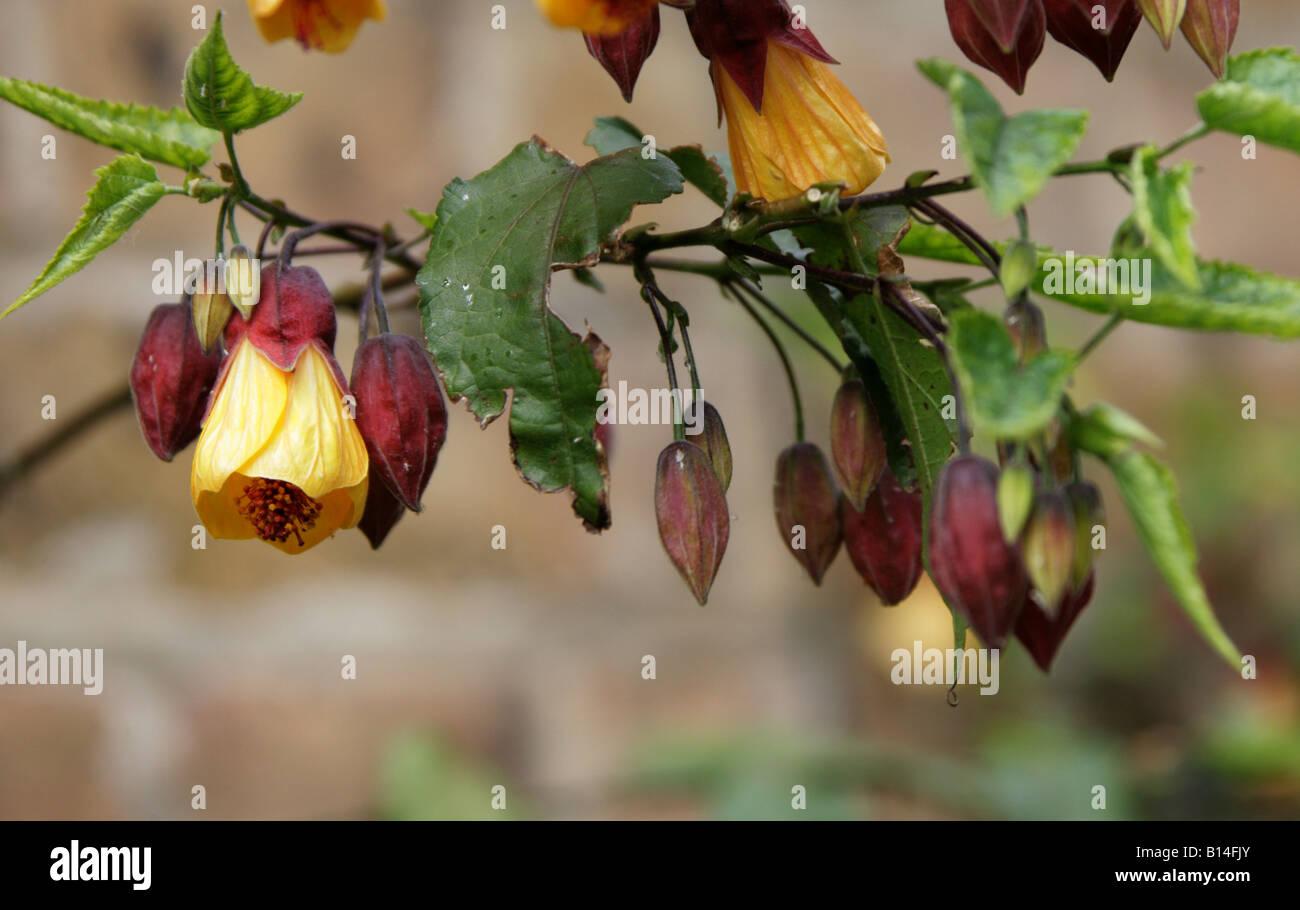 Trailing Abutilon Aka Chinese Bell Flower Chinese Lantern Mallow