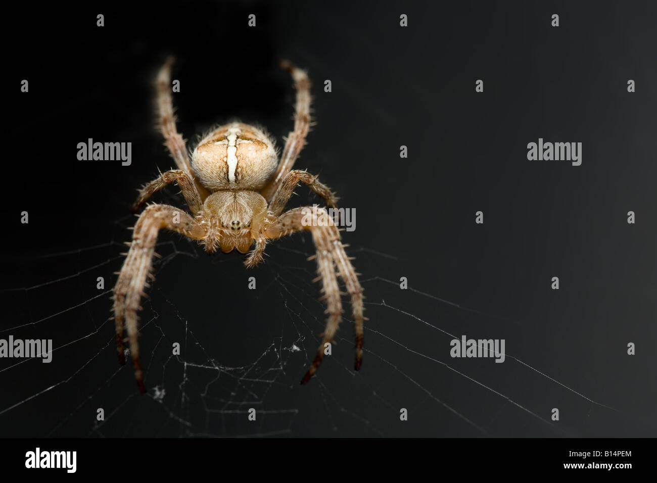 big spider - Stock Image