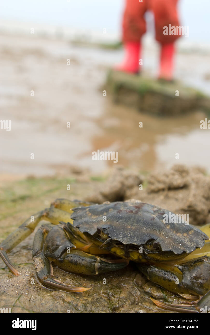 Crab on rock with small boy - Stock Image
