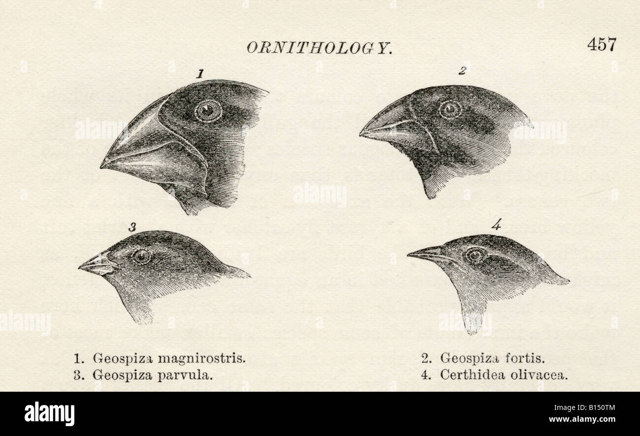 Finches with beaks adapted to different diets observed by Charles Darwin in Galapagos Islands during Beagle voyage - Stock Image