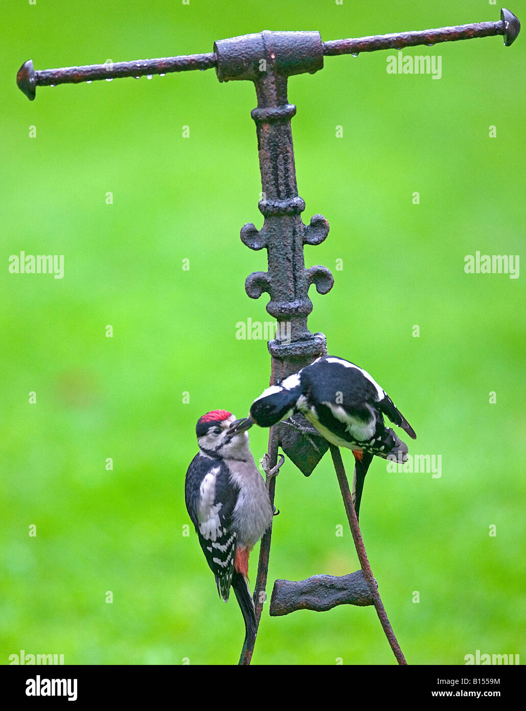 Greater spotted woodpeckers  (Dendrocopos major)  feeding on garden roller. - Stock Image