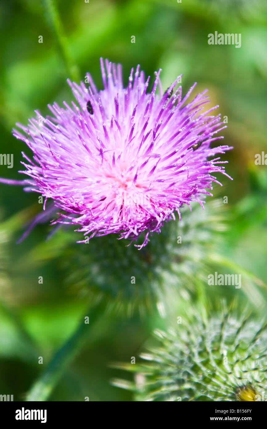 Thistle Blossom - Stock Image