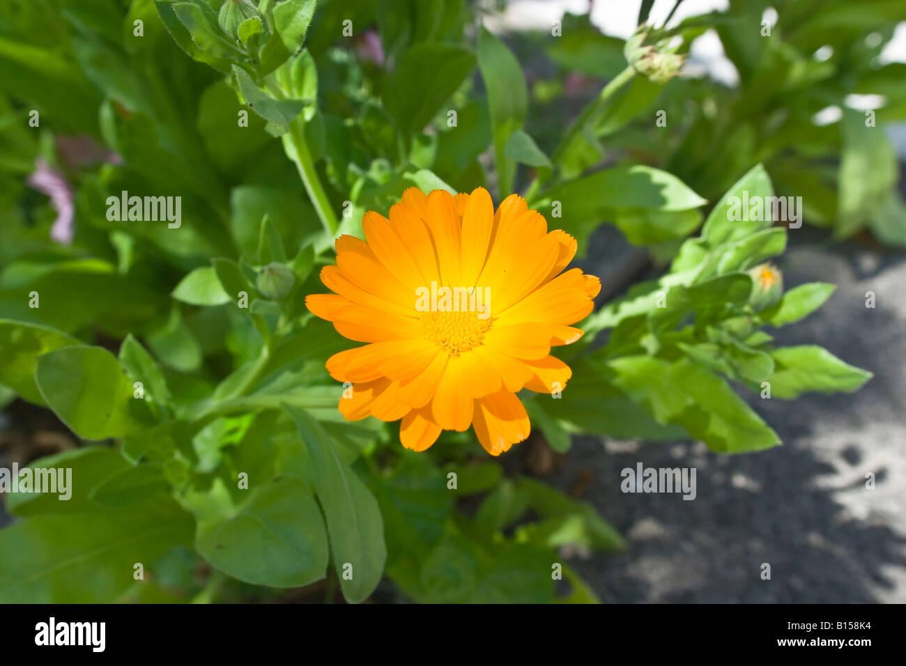 Calendula marigold - Stock Image