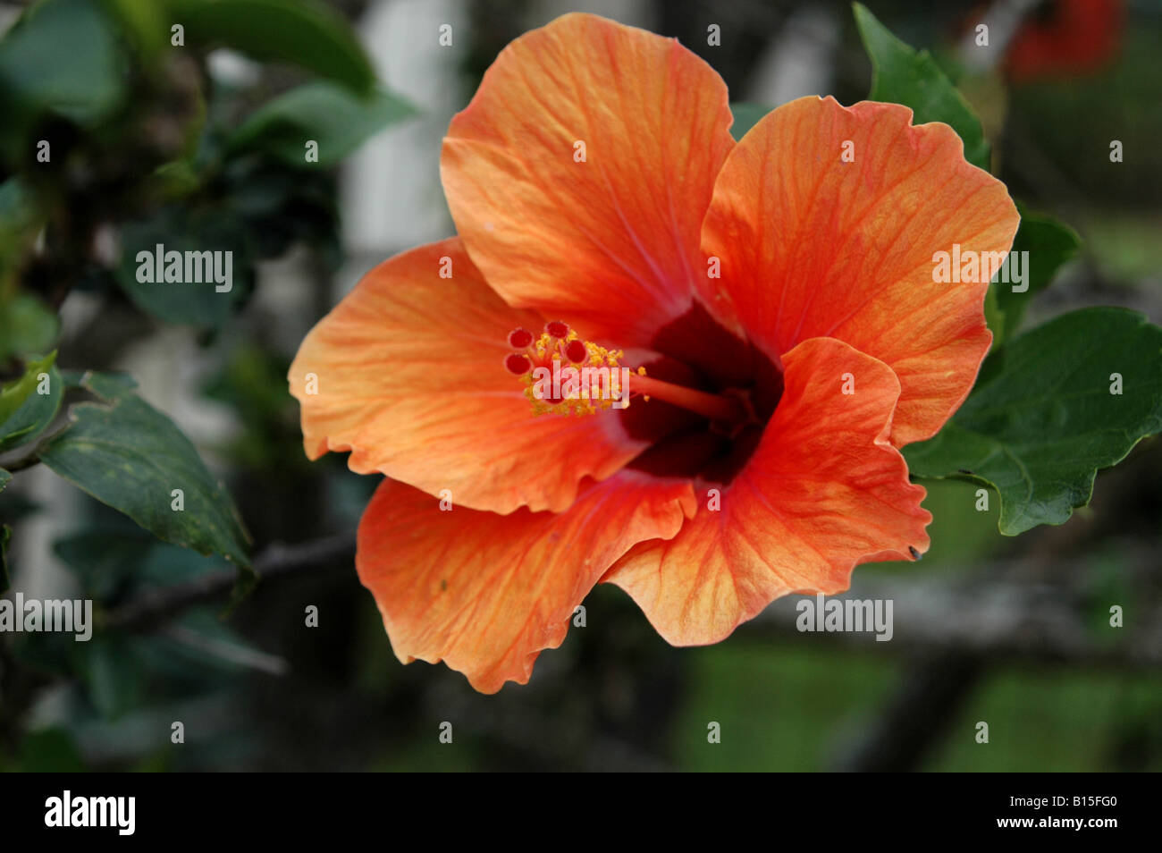 Orange colour hibiscus flower stock photos orange colour hibiscus close up of a orange colour hibiscus flower stock image izmirmasajfo