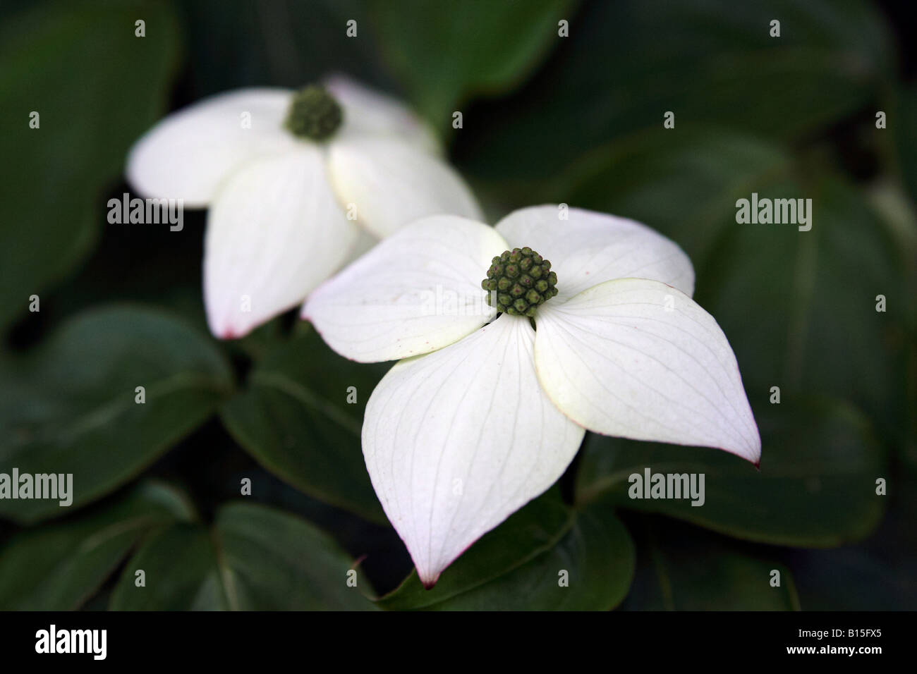 Close Up With Two Four Petals White Flowers Dark Green Foliage Stock