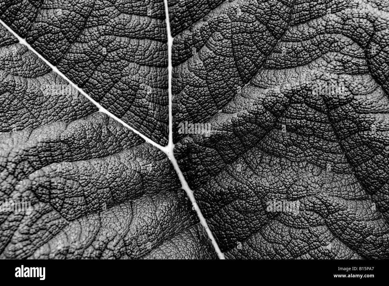 macro shot of gunnera leaf detail Like an aerial shot of terrain - Stock Image