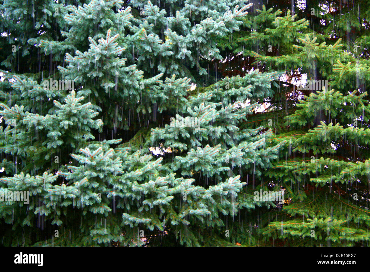 Early snowfall on Blue Spruce Tree ( Picea pungens ) North America - Stock Image