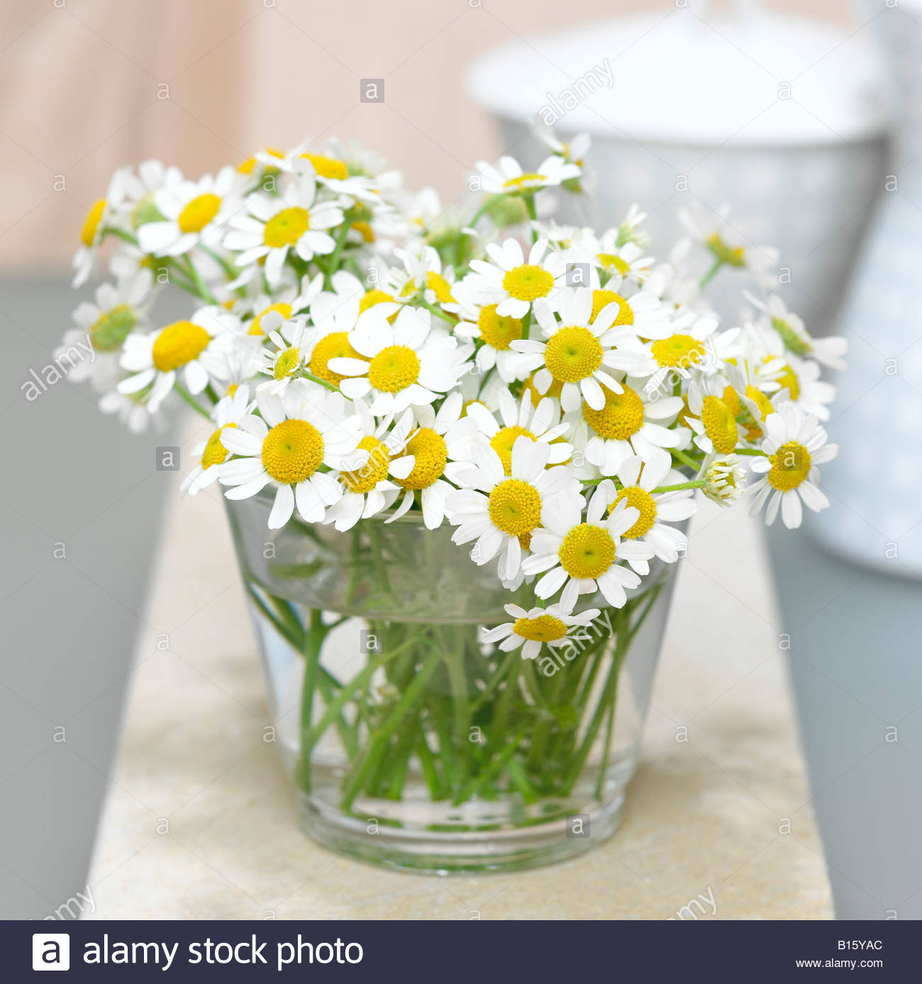 Bunch of chamomiles in vase (Chamomilla), close-up - Stock Image
