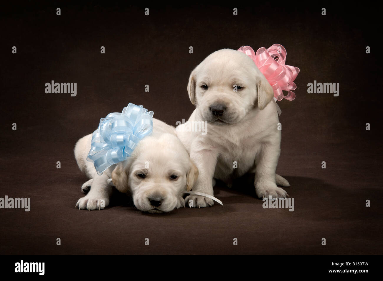 boy girl four week old lab puppies with pink and blue ribbons and bows on brown background - Stock Image