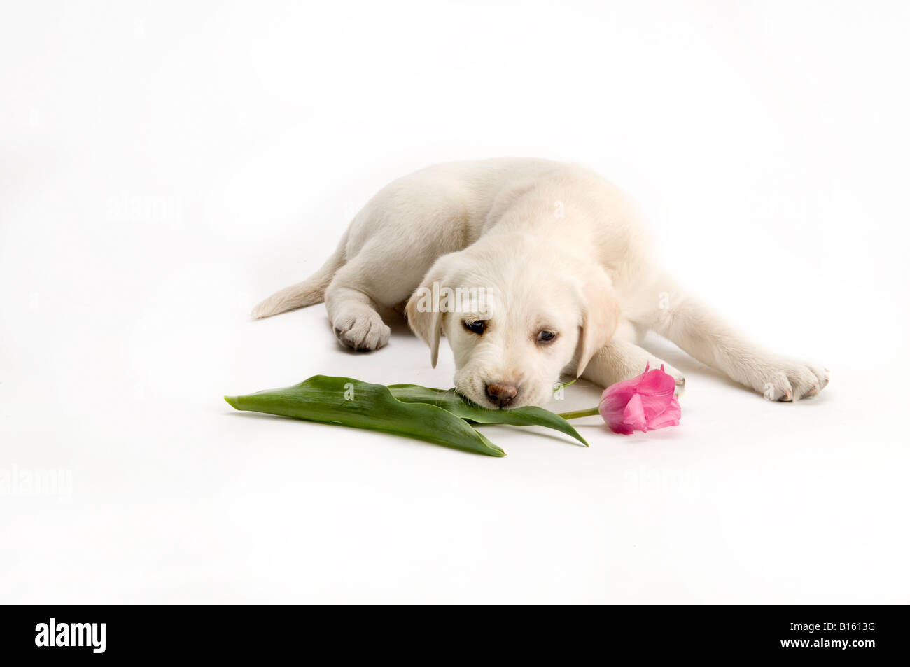 lab puppy chewing a  pink tulip flower - Stock Image