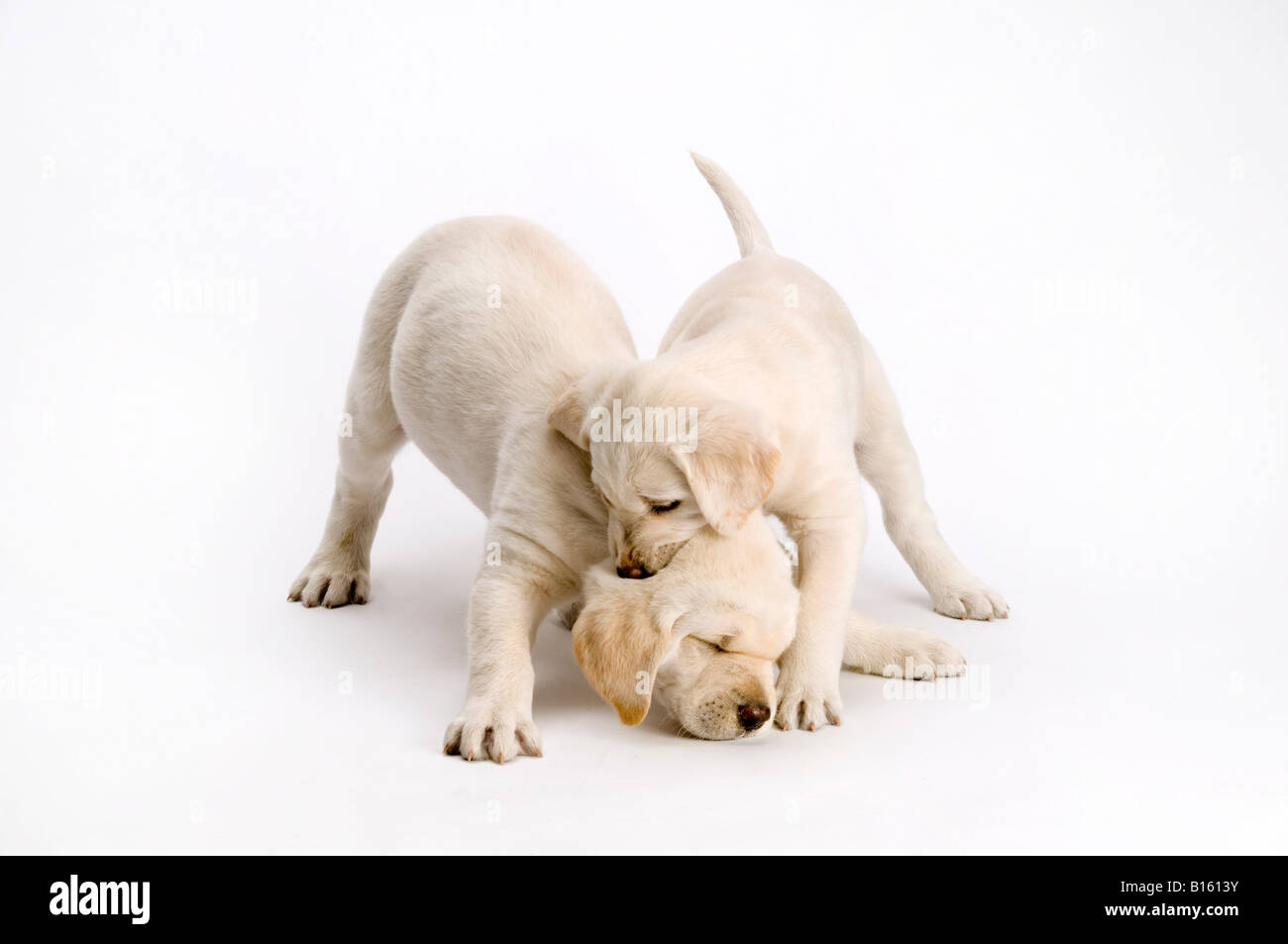 Two Labrador Puppies Playing On White Background Stock Photo