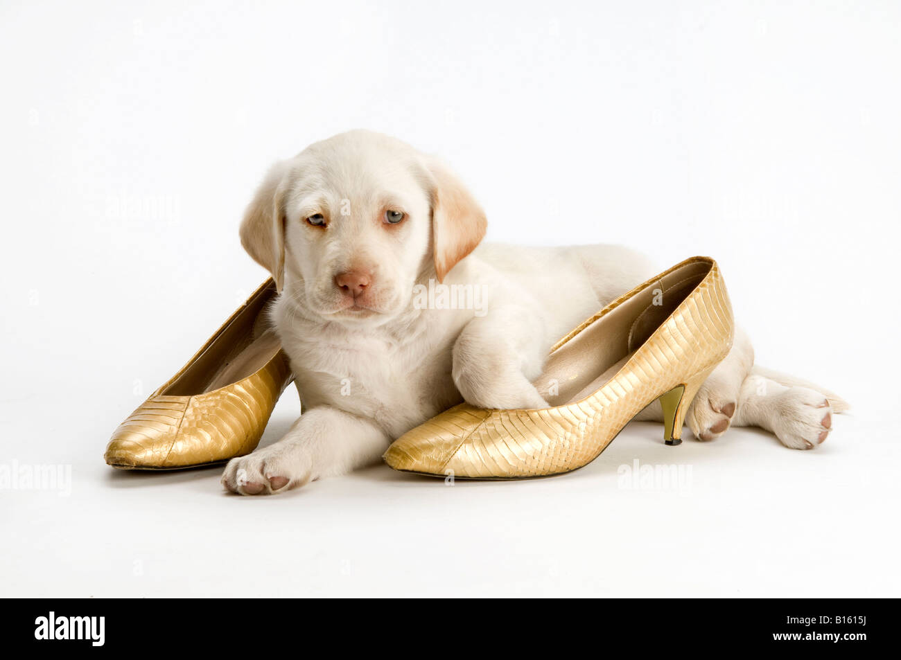 white yellow Labrador puppy with gold shoes on white background - Stock Image