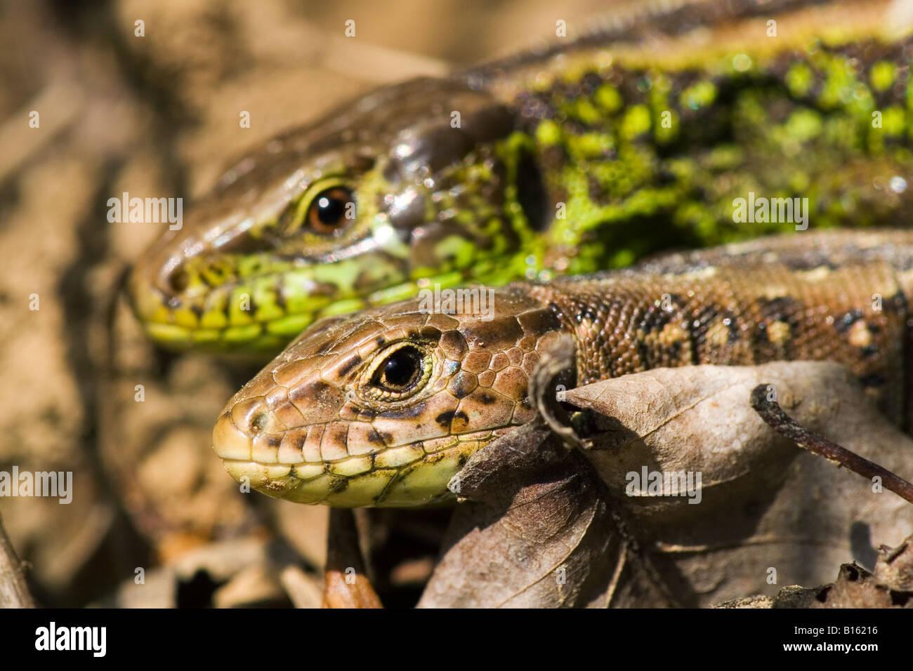 A couple of sand lizards sunbathing. - Stock Image
