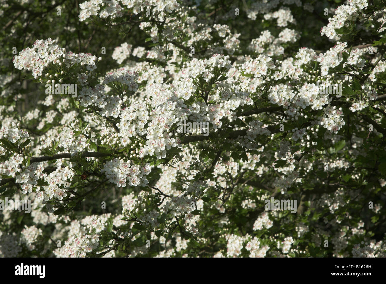Blossom on common hawthorn tree, Crataegus monogyna, close up - Stock Image