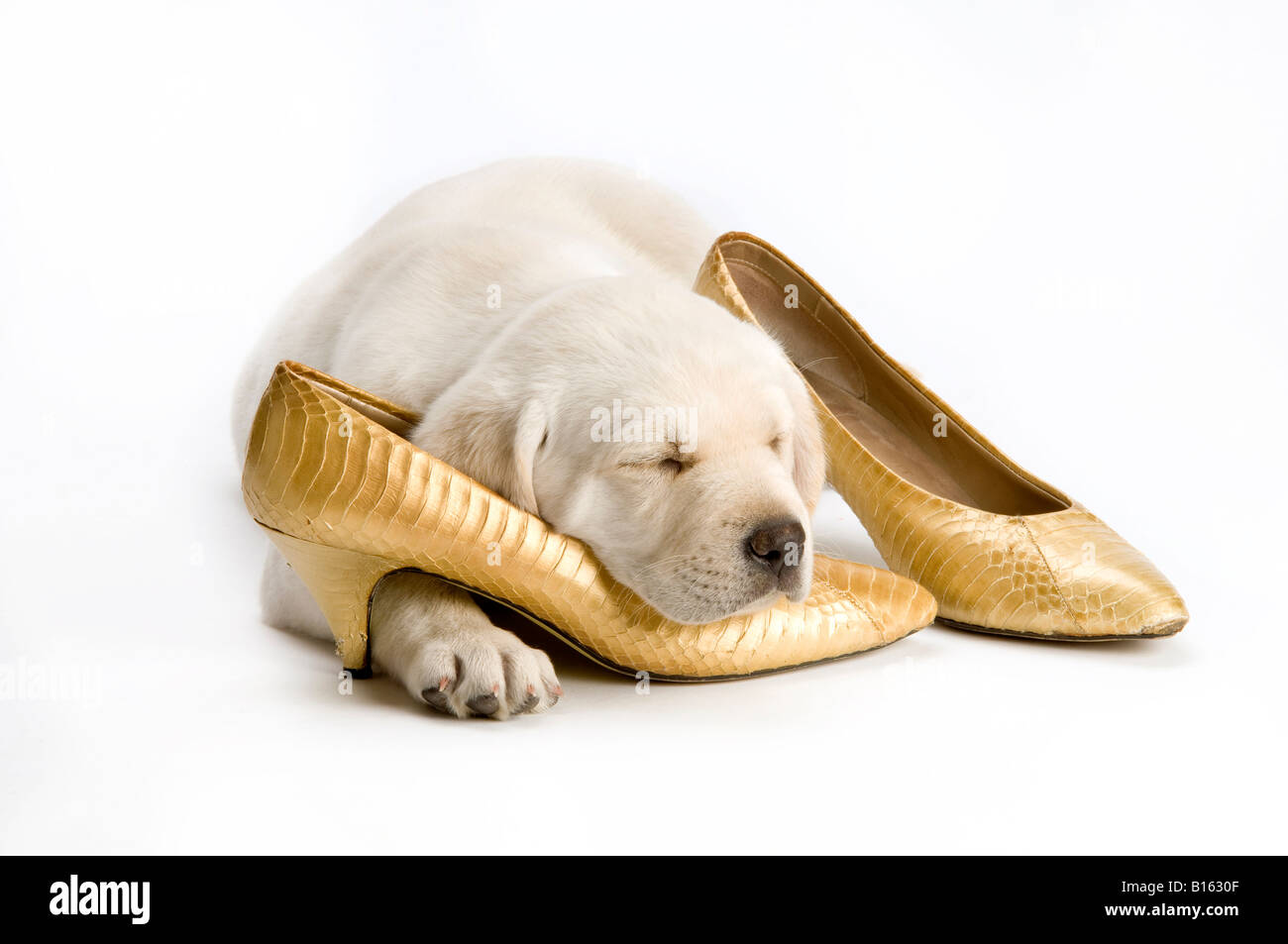 Labrador puppy sleeping on womens shoes - Stock Image
