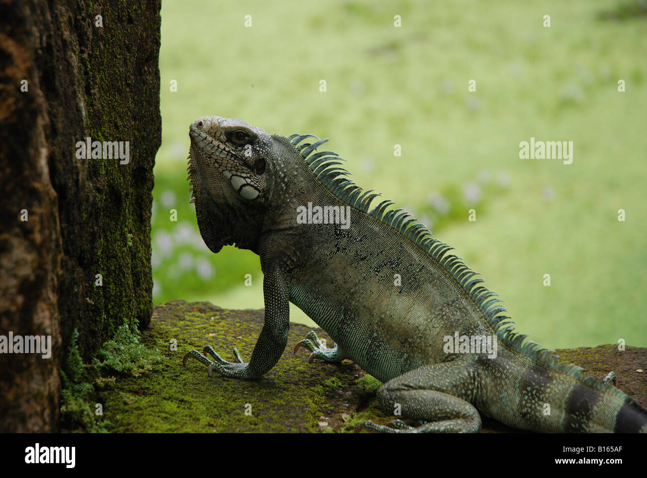 iguana on a rockwall by the sun - Stock Image