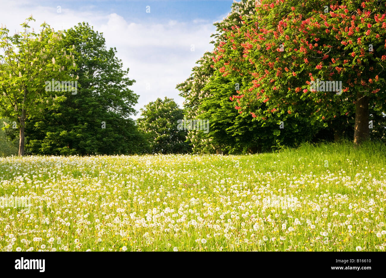 Trees with red and white spring blossom standing in a grassy meadow of dandelion seed heads and buttercups in Wiltshire, - Stock Image