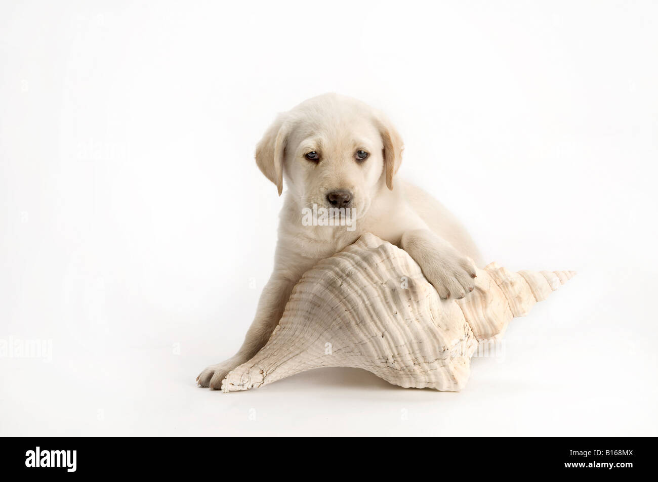 playful lab puppy with large sea shell on white - Stock Image