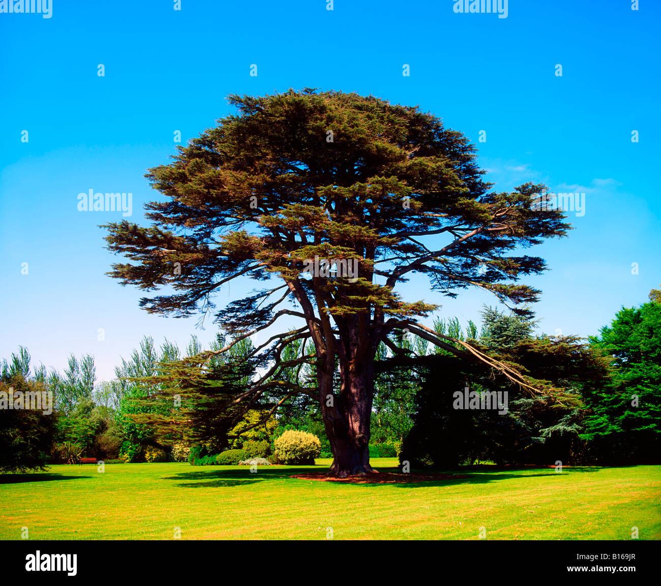 Lebanon cedar, Malahide Demesne, Co Dublin, Ireland - Stock Image
