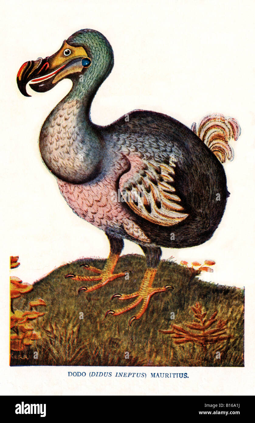The Dodo Victorian illustration of the flightless bird didus ineptus from Mauritius extinct by 1681 Stock Photo
