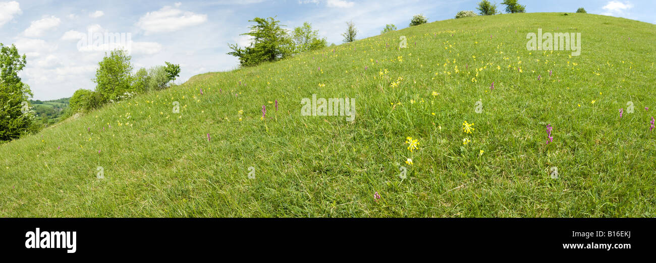 Orchids and cowslips on the Cotswolds at Elliott (Swift's Hill) Nature Reserve at Slad, Gloucestershire - Stock Image