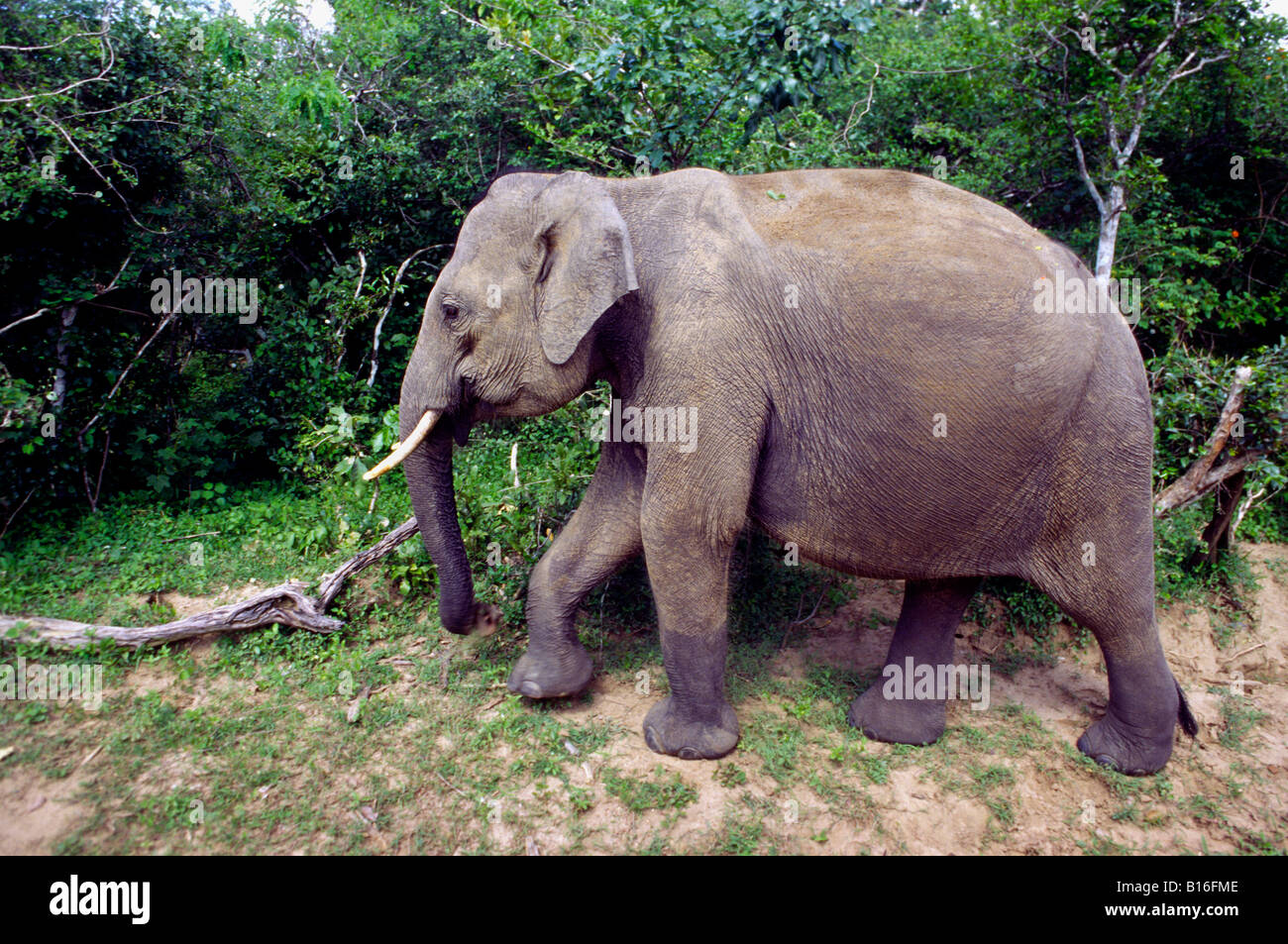 Elephant crossing jeep track. Yala West National Park (Ruhuna), Sri lanka. - Stock Image