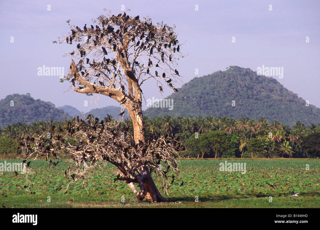 Tree full of birds. Yala West National Park (Ruhuna), Sri lanka. - Stock Image