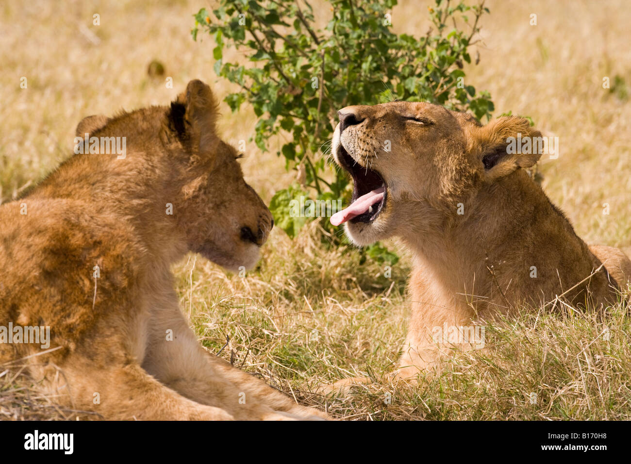 Closeup wildlife in funny pose baby lion cubs talking one yawning mouth wide open sticking tongue out other looking - Stock Image