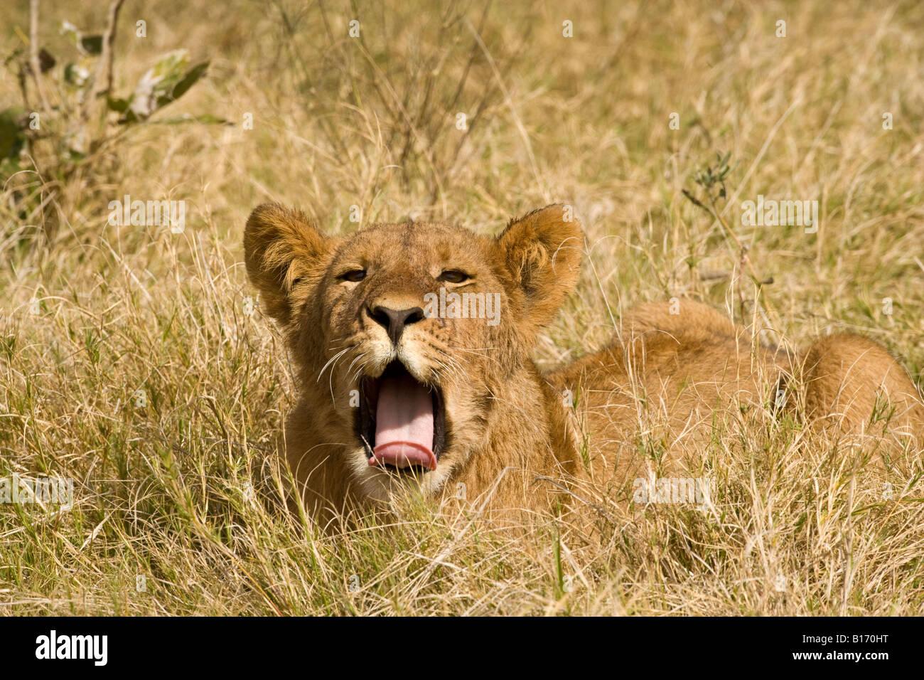 Closeup cute funny lion cub yawning mouth open wide tongue out lying in  warm sunshine in open grass facing view eye contact Okavango Botswana Africa Stock Photo