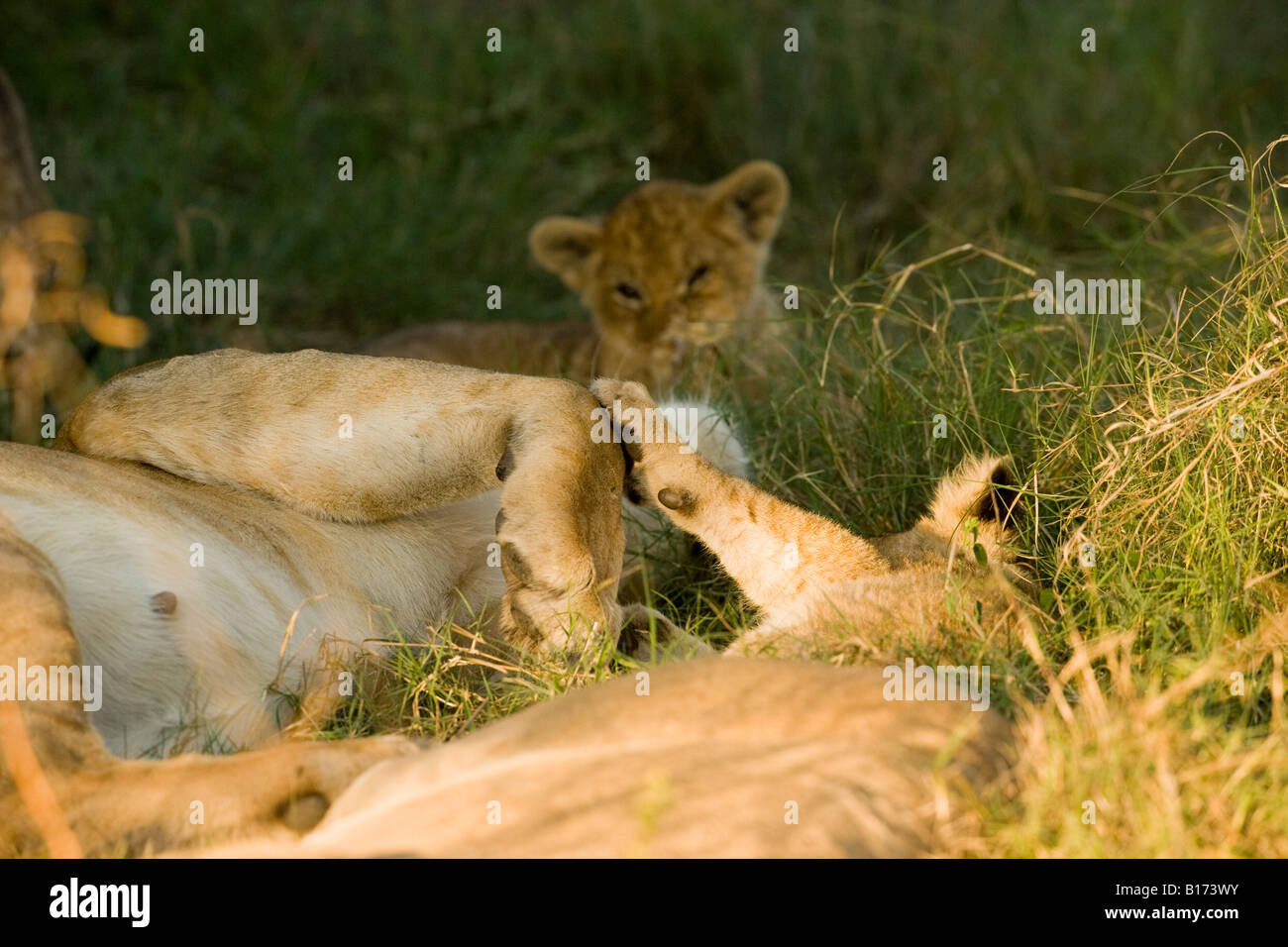 Closeup mother and baby lion cub touching paws sleeping lying in warm sunlit green grass, big and small paws touch soft background Moremi Okavango Stock Photo
