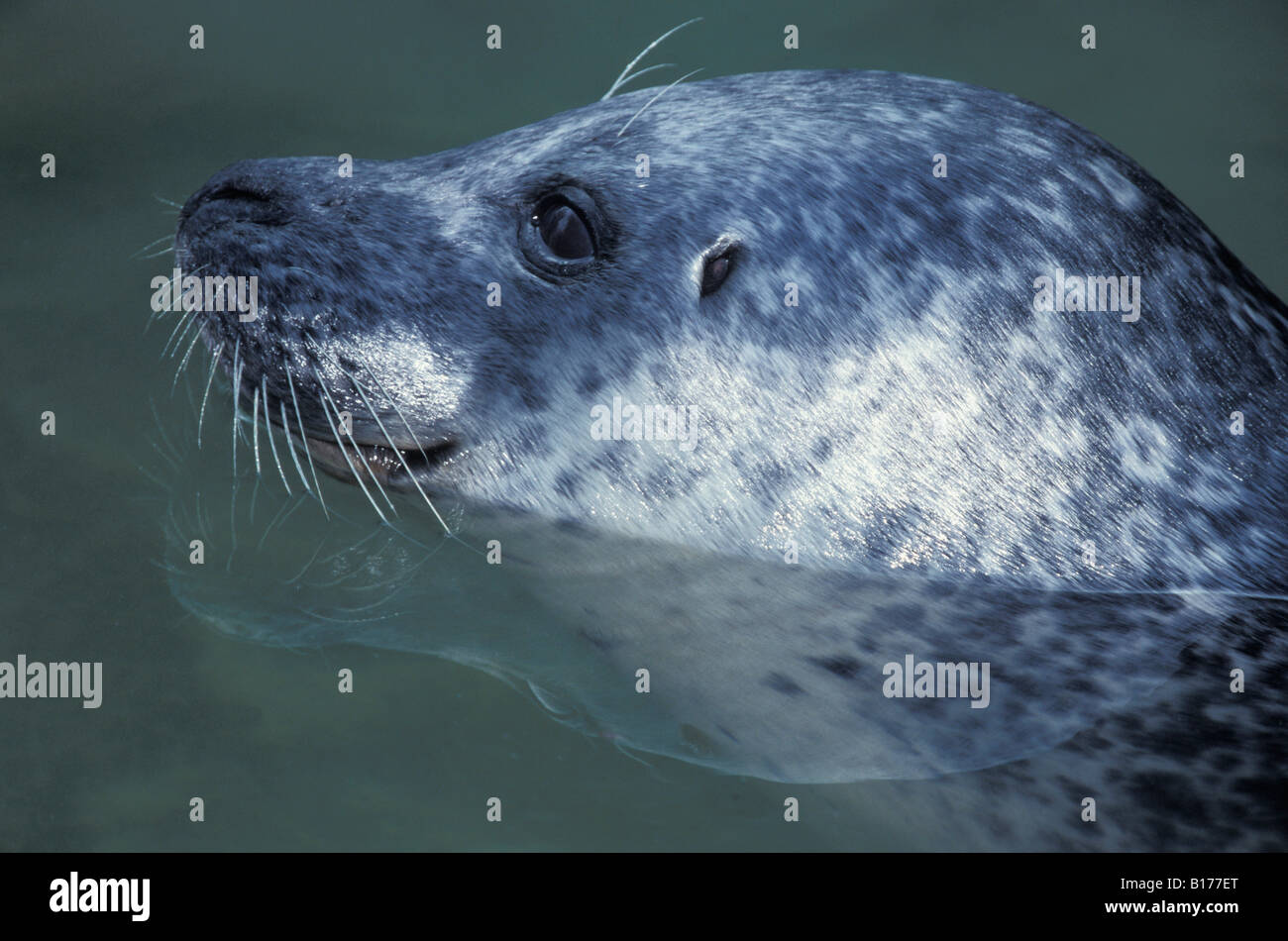 phoque gris Kegelrobbe Grey Seal Halichoerus grypus watching from water animals Atlantik Canoidea Carnivora carnivores - Stock Image