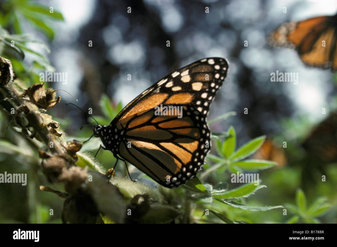 monarques Monarchfalter Monarchs Danaus plexippus on migration animals Arthropoda arthropods Edelfalter Gliederfuesser - Stock Image