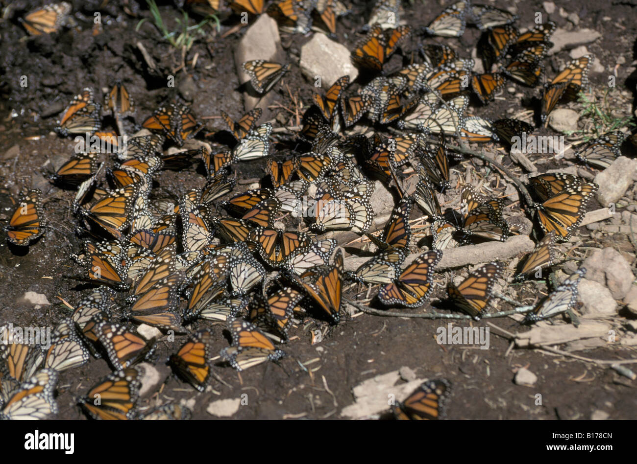 monarques Monarchfalter Monarchs Danaus plexippus on migration animals Arthropoda arthropods Edelfalter Gliederfuesser Stock Photo