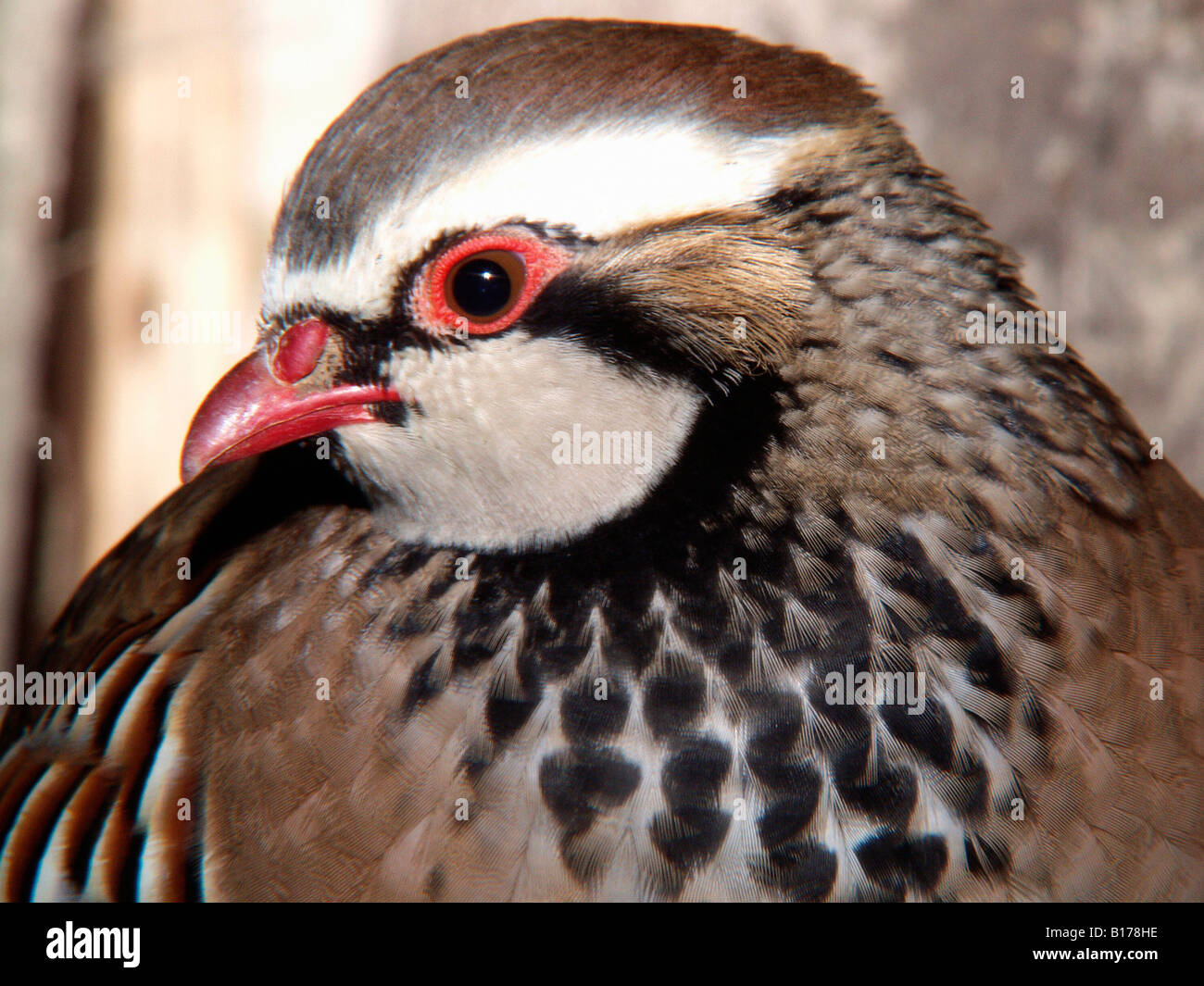 perdrix rouge Rothuhn Red legged Partridge French Partridge Alectoris rufa portrait animals Aves birds Europa Europe - Stock Image