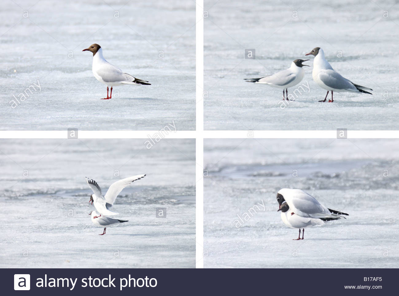 Two black headed gulls (Larus ridibundus) mate on the frozen Lake Mývatn in northern Iceland. - Stock Image